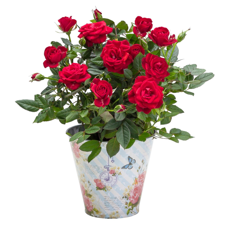 rote rose im romantischen nostalgie topf - Blumen Im Topf Pflanzen