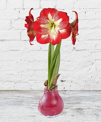 wax amaryllis rot jetzt bestellen bei valentins valentins blumenversand blumen und. Black Bedroom Furniture Sets. Home Design Ideas