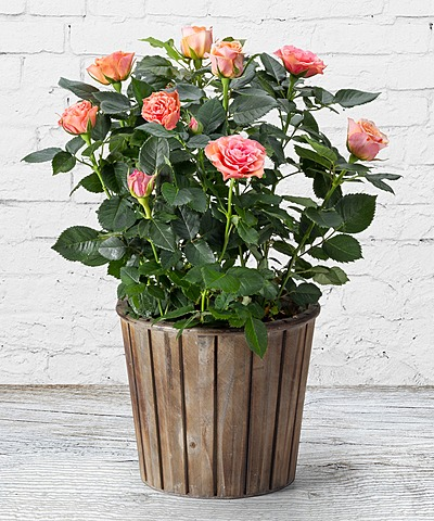 orangefarbene rose im topf und rosen duftkerze jetzt. Black Bedroom Furniture Sets. Home Design Ideas