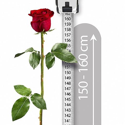 Echte XXL-Rose und Windlicht Love