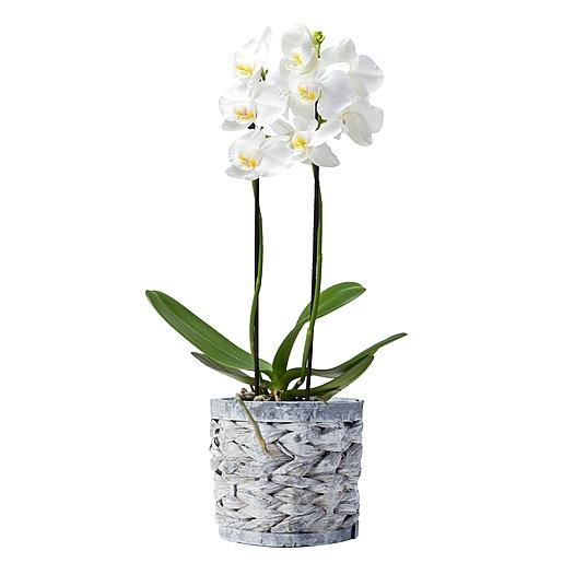 Orchidee im Holztopf