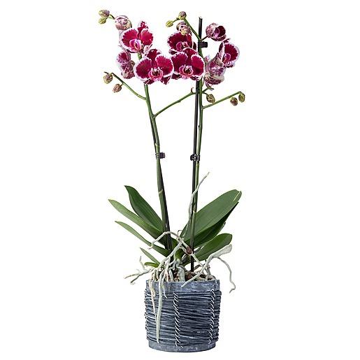 Violette Orchidee im grauen Holztopf