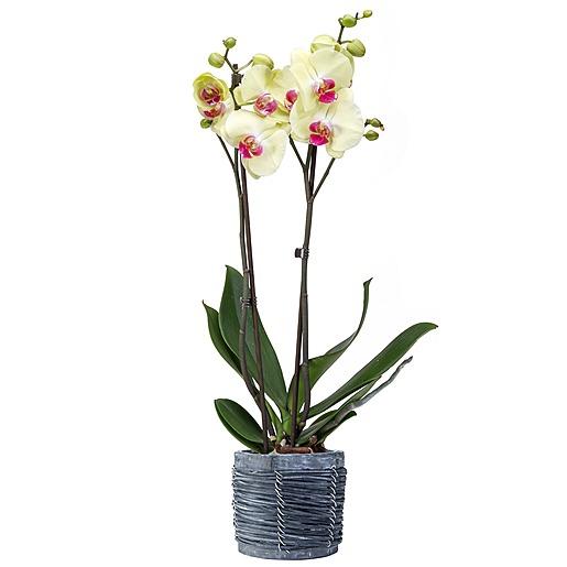 Valentins Gelb-pinke Orchidee im grauen Holztopf und Pralinen-Herzen