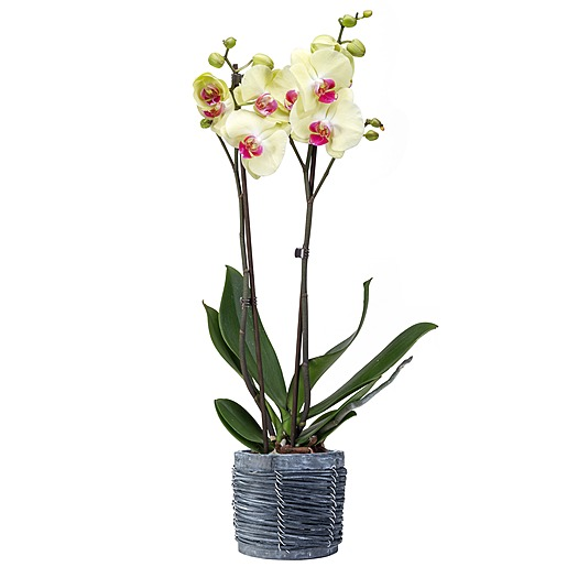 Gelb pinke Orchidee im grauen Holztopf