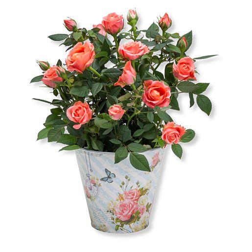 Orangefarbene Rose im romantischen Nostalgie-Topf