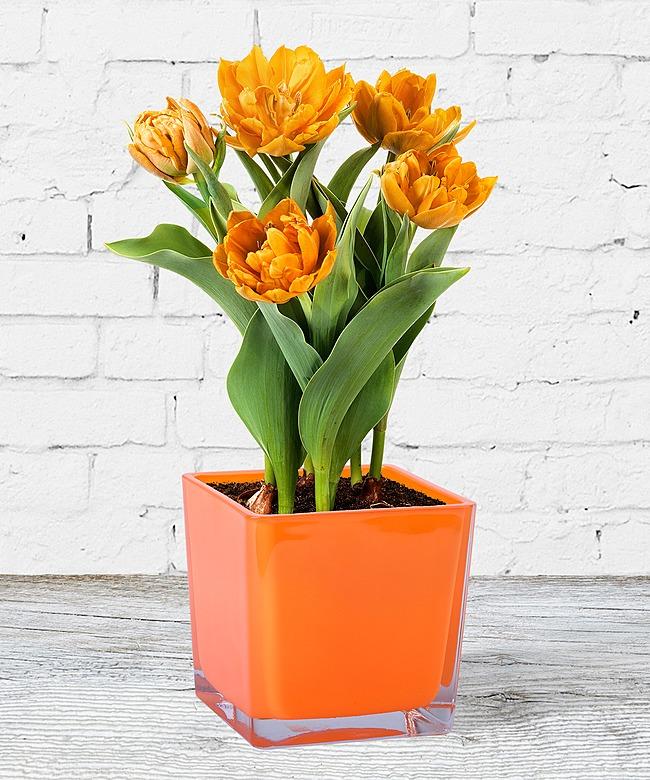 orangefarbene tulpe im topf jetzt bestellen bei valentins valentins blumenversand blumen. Black Bedroom Furniture Sets. Home Design Ideas