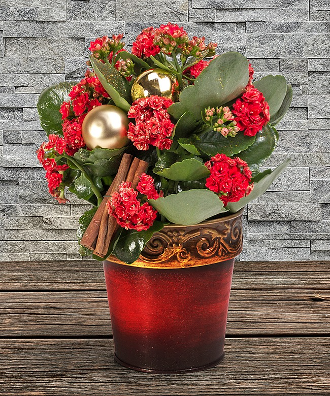 rote kalanchoe mit deko im topf und merry christmas windlicht rot jetzt bestellen bei. Black Bedroom Furniture Sets. Home Design Ideas