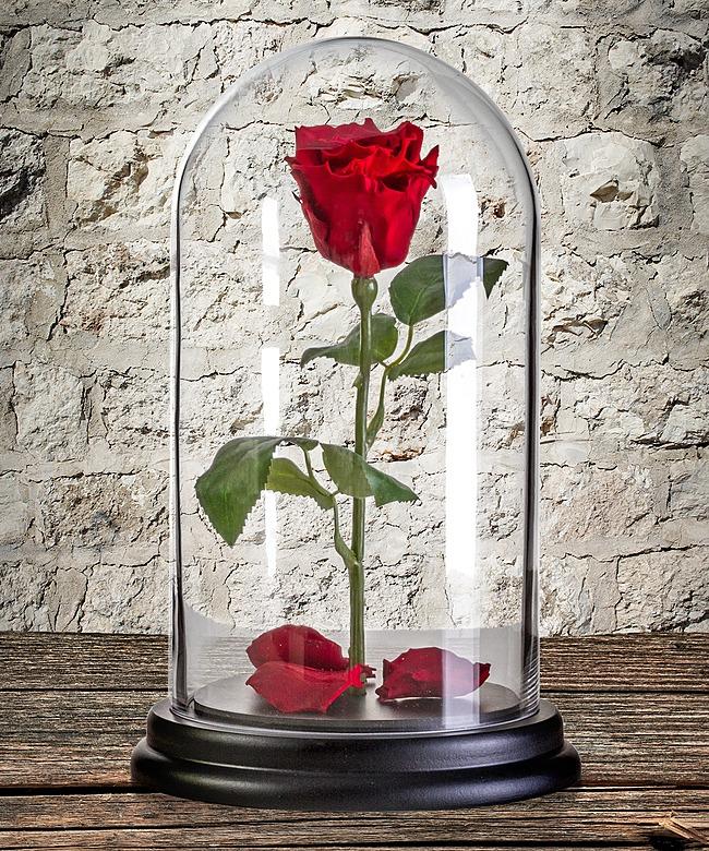 verwunschene rose belle jetzt bestellen bei valentins. Black Bedroom Furniture Sets. Home Design Ideas