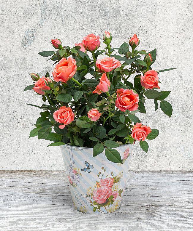 orangefarbene rose im romantischen nostalgie topf jetzt. Black Bedroom Furniture Sets. Home Design Ideas