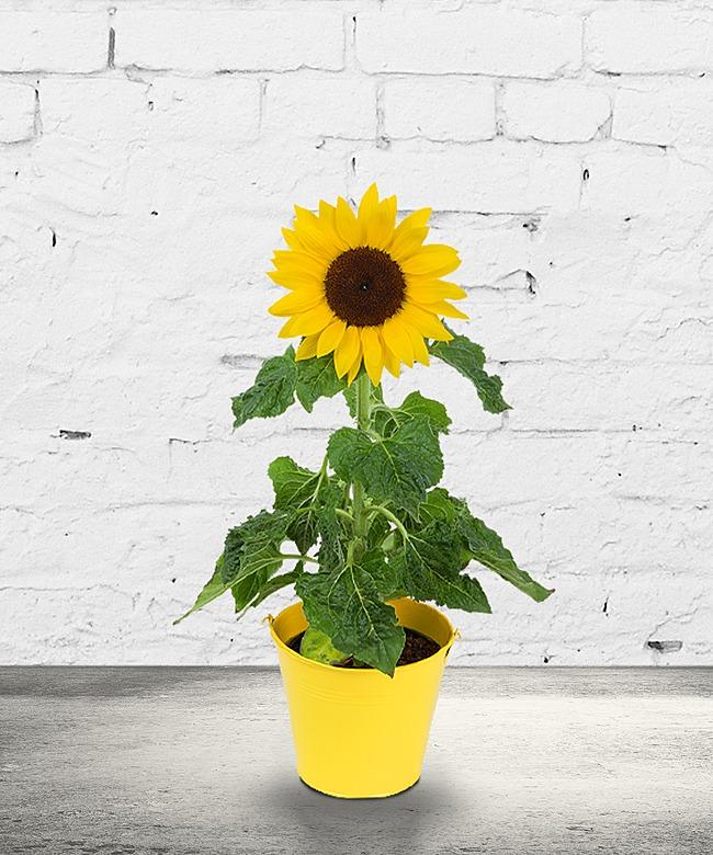 Sonnenblume im Topf und Gute-Laune-Drops - jetzt bestellen bei ...