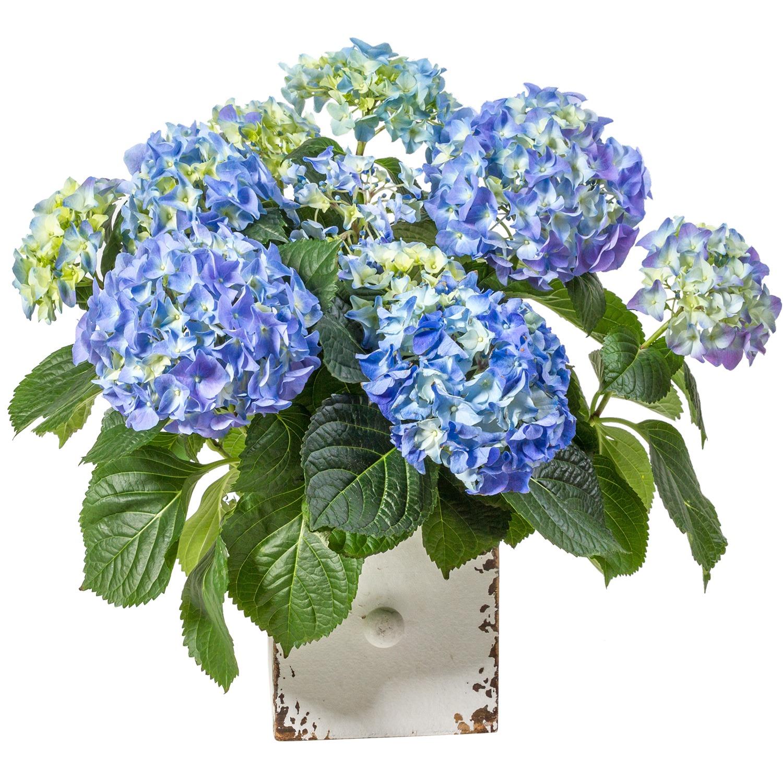 Blaue Hortensie in Holzschublade - jetzt bestellen bei Valentins ...