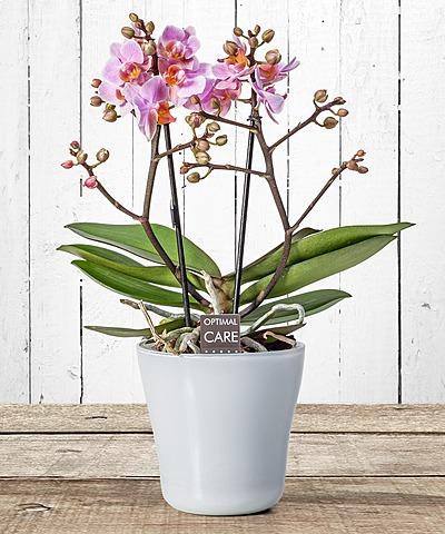 Weihnachten   Topfpflanzen   Vom Blumen Und Geschenkeversand Valentins |  Valentins Blumenversand   Blumen Und Geschenke Versenden