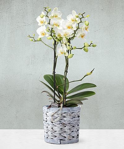 Liebevolle Topfpflanzen Für Mamas | Valentins Blumenversand   Blumen Und  Geschenke Versenden