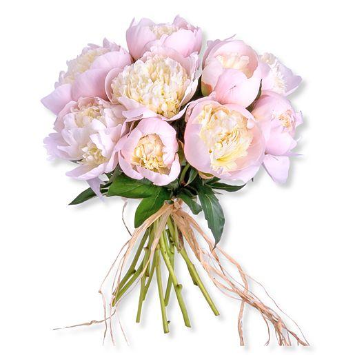 10 Pfingstrosen rosa