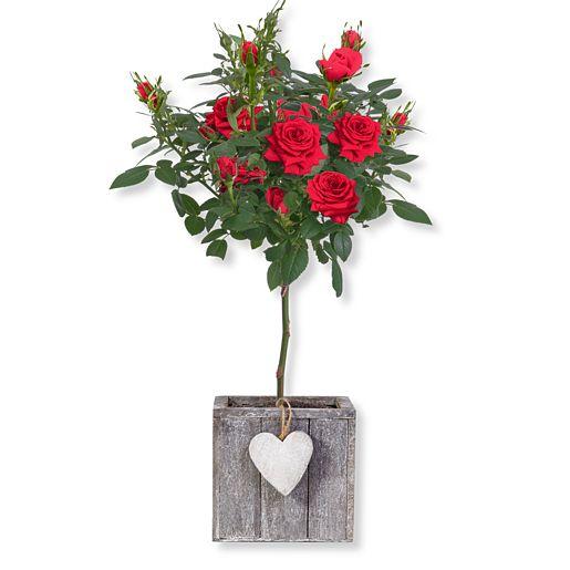 Rotes Rosenstämmchen im Herztopf