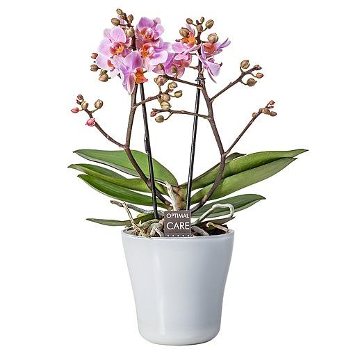 Rosa Orchidee im weißen Glastopf