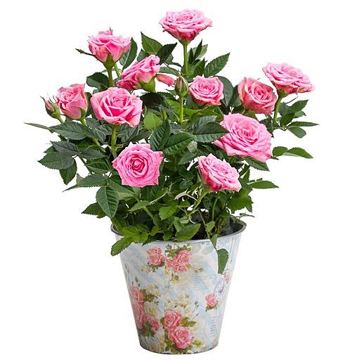 Rosafarbene Rose im romantischen Nostalgie-Topf