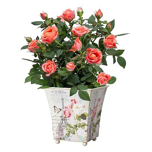 Orangefarbene Rose im romantischen Nostalgie Topf und Tasse Roses