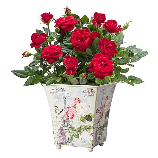 Rote Rose im romantischen Nostalgie Topf und Tasse Roses