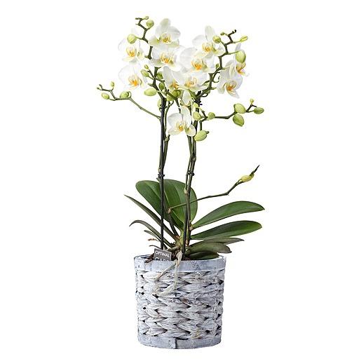 Weiße Orchidee im grauen Korbtopf