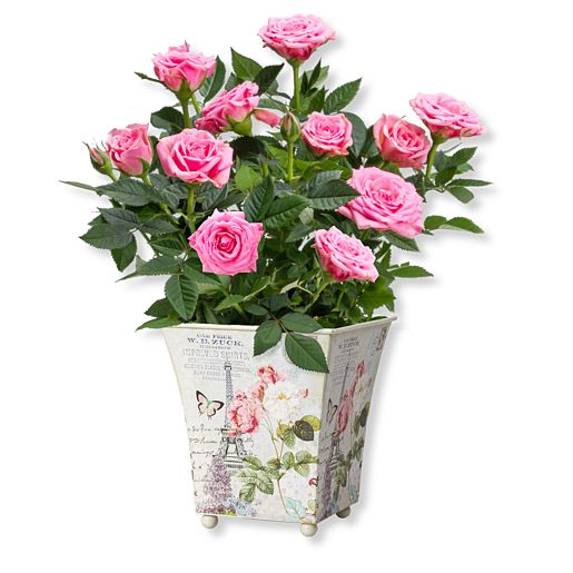 Rosafarbene Rose in romantischem Nostalgie Topf,Tasse Roses